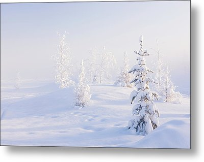 Snowy Birch And Evergreen Trees In An Metal Print