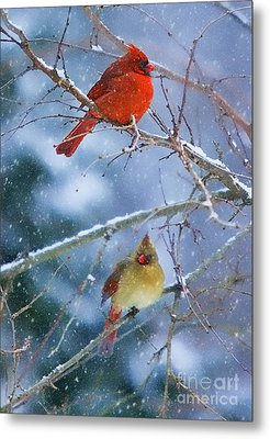 Metal Print featuring the photograph Snowy Cardinal Pair by Clare VanderVeen