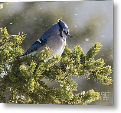 Snowy Day Blue Jay Metal Print