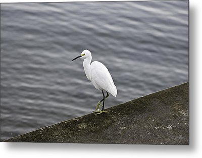 Snowy Egret Metal Print by Anthony Baatz