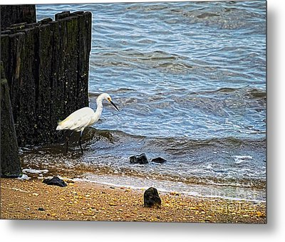 Snowy Egret At The Shore Metal Print