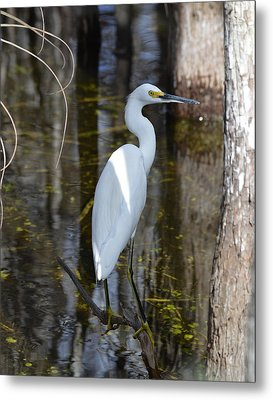 Snowy Egret Big Cypress Swamp Metal Print