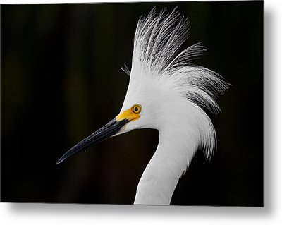 Snowy Egret Crown Metal Print by Andres Leon