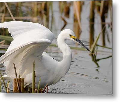 Metal Print featuring the photograph Snowy Egret by Doug Herr