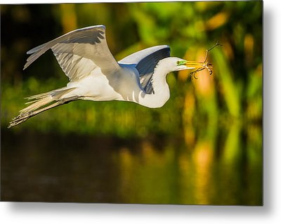 Snowy Egret Flying With A Branch Metal Print