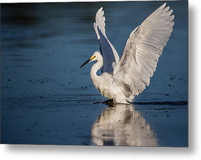 Snowy Egret Frolicking In The Water Metal Print