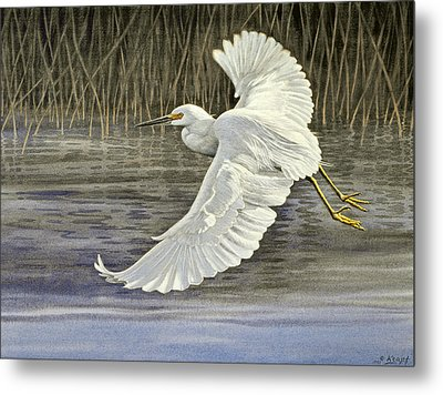 Snowy Egret Metal Print by Paul Krapf