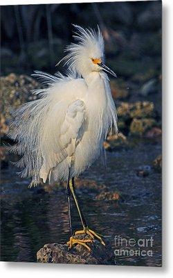 Snowy Egret Show Off Metal Print