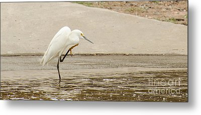 Snowy Egret Taking Advantage Of The Flood Metal Print by Donna Brown