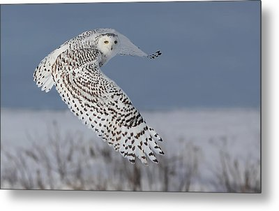 Snowy In Action Metal Print by Mircea Costina Photography