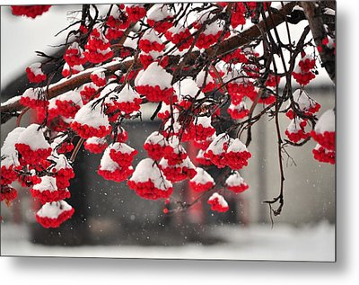 Metal Print featuring the photograph Snowy Mountain Ash Berries by Fran Riley