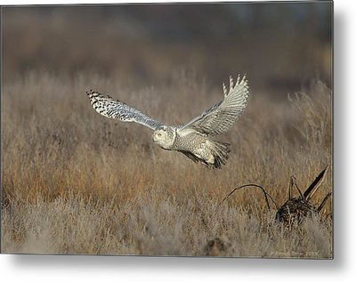 Metal Print featuring the photograph Snowy On The Wing by Daniel Behm