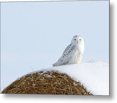 Metal Print featuring the photograph Snowy Owl by Alyce Taylor