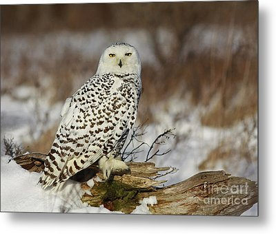 Snowy Owl At Sunset Metal Print by Inspired Nature Photography Fine Art Photography