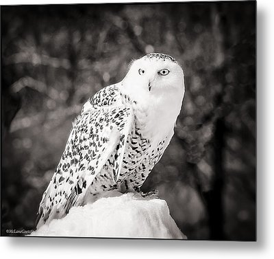 Snowy Owl Cold Stare Black And White Metal Print