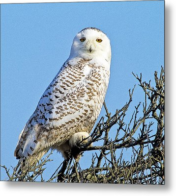 Metal Print featuring the photograph Snowy Owl by Constantine Gregory