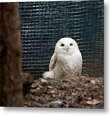 Metal Print featuring the photograph Snowy Owl by Courtney Webster