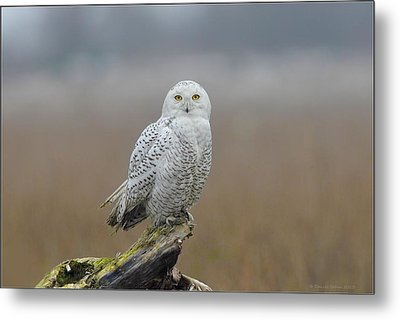 Metal Print featuring the photograph Snowy Owl  by Daniel Behm