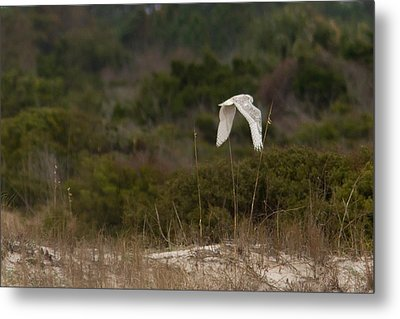 Metal Print featuring the photograph Snowy Owl Dune Flight by Paul Rebmann