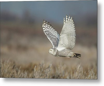 Metal Print featuring the photograph Snowy Owl In Flight by Daniel Behm