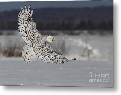 Snowy Owl In Flight Metal Print by Mircea Costina Photography