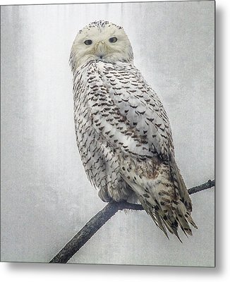 Metal Print featuring the photograph Snowy Owl In The Rain by Constantine Gregory