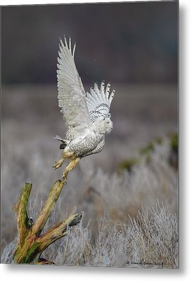 Metal Print featuring the photograph Snowy Owl Liftoff by Daniel Behm