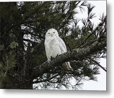 Snowy Owl Metal Print by Melissa Petrey
