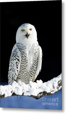 Snowy Owl On A Twilight Winter Night Metal Print by Inspired Nature Photography Fine Art Photography