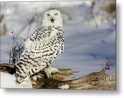 Snowy Owl On A Winter Hunt Metal Print by Inspired Nature Photography Fine Art Photography