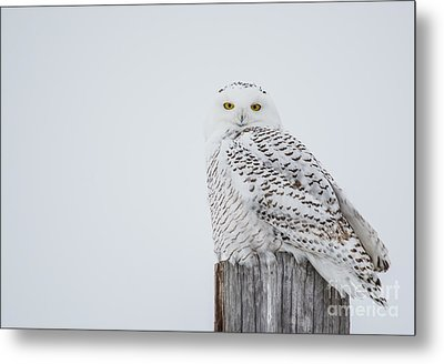 Snowy Owl Perfection Metal Print