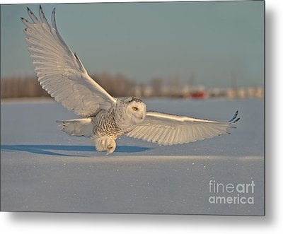 Snowy Owl Pictures 7 Metal Print