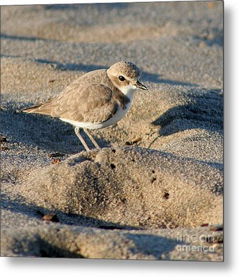 Metal Print featuring the photograph Snowy Plover by Bob and Jan Shriner
