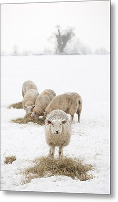 Snowy Sheep Metal Print by Anne Gilbert