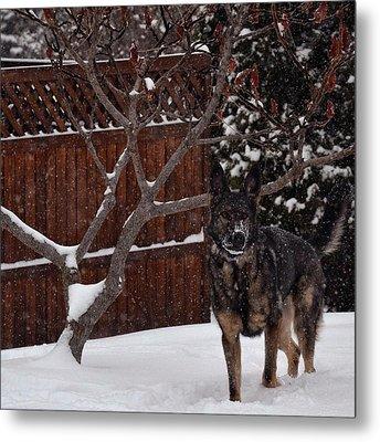 Snowy Shepherd Metal Print