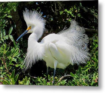 Snowy White Egret Breeding Plumage Metal Print