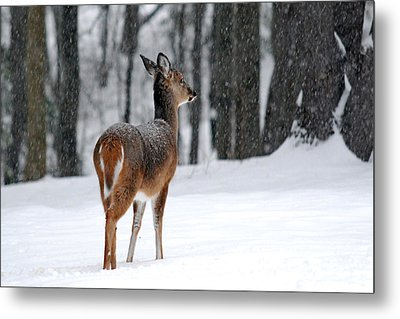 Snowy White Tail Metal Print by Christina Rollo