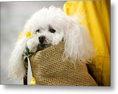 Snuggled Poodle Dog Metal Print by Donna Doherty