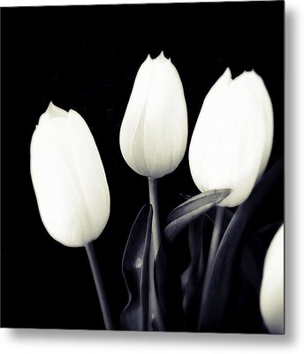 Soft And Bright White Tulips Black Background Metal Print by Matthias Hauser