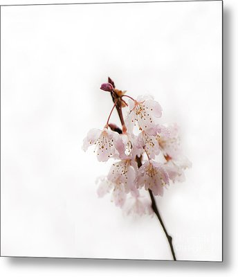Soft Cherry Plum Metal Print