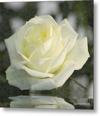 Soft Cream Rose Metal Print by Brian Roscorla