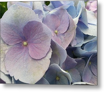 Metal Print featuring the photograph Soft Hydrangea  by Caryl J Bohn