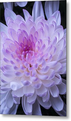 Soft Pink Mum Metal Print by Garry Gay