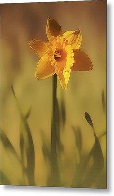 Soft Spring Daffodil Metal Print by Anne Macdonald