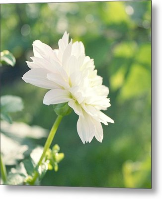 Soft White Dahlias Metal Print by Cathie Tyler