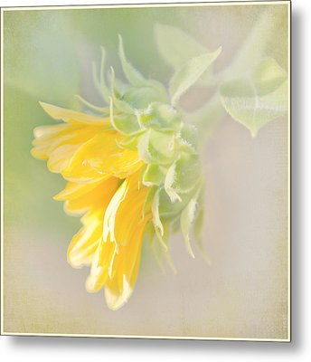 Metal Print featuring the photograph Soft Yellow Sunflower Just Starting To Bloom by Patti Deters