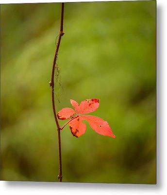 Solitary Red Leaf Metal Print