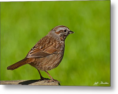 Song Sparrow On A Log Metal Print