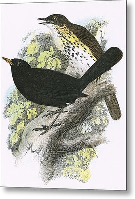 Song-thrush Top And Blackbird Bottom Metal Print by English School