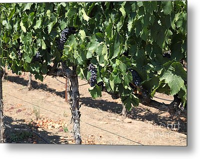 Sonoma Vineyards In August In The Sonoma California Wine Country 5d24487 Metal Print by Wingsdomain Art and Photography